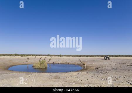 Africa, Namibia, Etosha National Park, water hole, giraffes, elephant, - Stock Photo