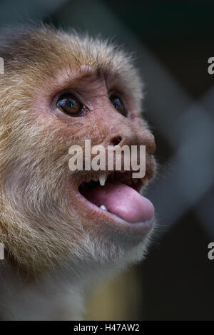 close up of the face of a white faced capuchin monkey in a zoo in Panama - Stock Photo