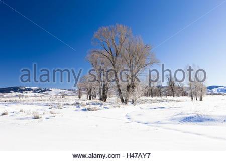 Cotton poplars in winter landscape, USA, Wyoming, - Stock Photo