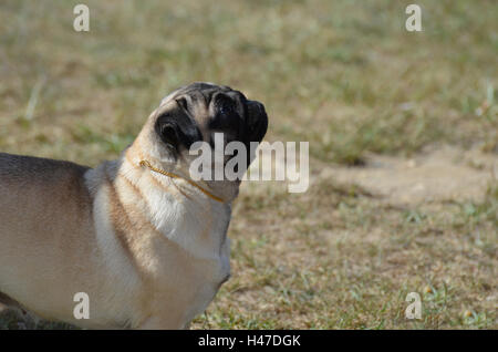 Adorable sweet face of a pug puppy dog. - Stock Photo