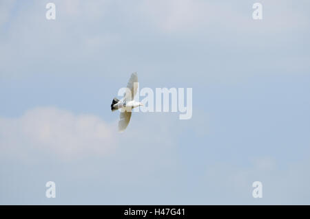 White pigeon, Columbidae, at the side, fly, - Stock Photo