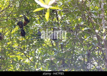 giant fruit bat on tree in Indonesia - Stock Photo