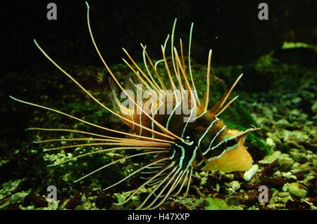 Spotfin lionfish, Pterois antennata, side view, swimming, - Stock Photo