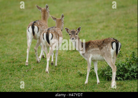 Fallow bucks, Cervus dama, hinds, side view, stand, meadow, summer, view in the camera, - Stock Photo