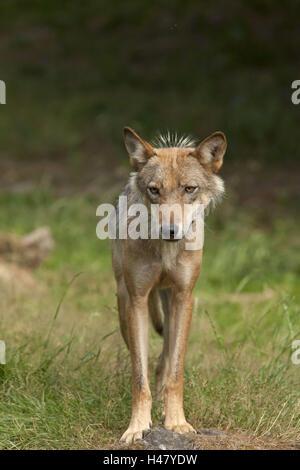 Germany, Hessen, Northern Hessen, game park Tight, wolf enclosure, wolf, - Stock Photo