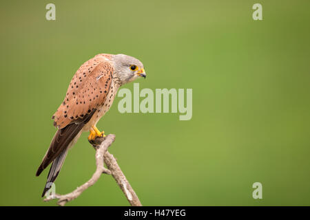 common kestrel (Falco tinnunculus) male perched on branch of tree, Bulgaria, Europe - Stock Photo