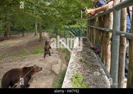 Germany, Hessen, Northern Hessen, game park Tight, bear's enclosure, bear's nut, bear-young, raised, - Stock Photo