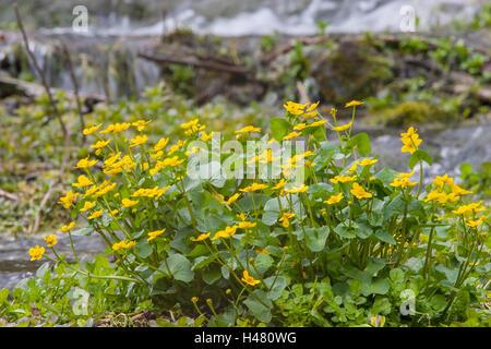 marsh marigold (Caltha palustris) flower growing in wet habitat near river, Derbyshire, England, UK - Stock Photo
