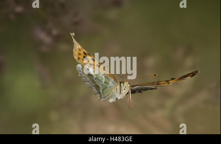 silver-washed fritillary, Argynnis paphia, in flight, - Stock Photo