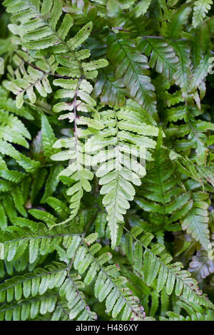 Dryopteris erythrosora fronds. - Stock Photo