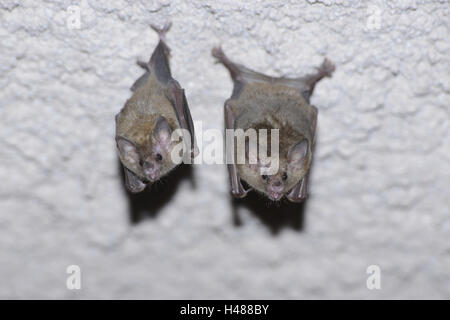 Flower bats, Glossophaginae, - Stock Photo