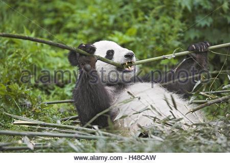 Panda, 'of big pandas', Ailuropoda melanoleuca, eat, - Stock Photo