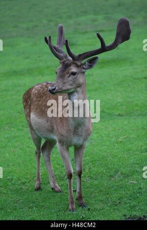 Fallow buck, - Stock Photo
