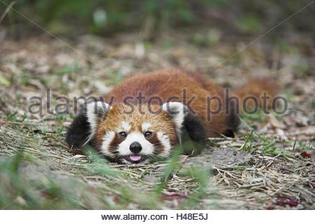 Cat's bear, Ailurus fulgens, - Stock Photo