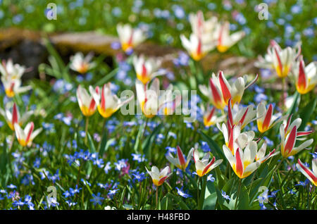Flowerbed, tulips, squill, - Stock Photo