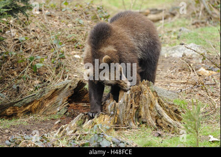 European brown bear, Ursus arctos arctos, young animal, - Stock Photo