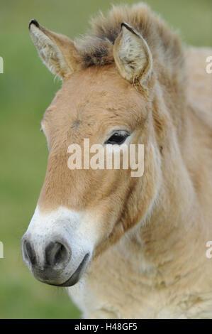 Przewalski horse, Equus ferus przewalskii, portrait, looking at camera, - Stock Photo