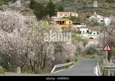 Spain, grain Canaria, almond blossom in the mountain village Ayacata, - Stock Photo