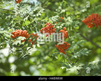 Rowan tree, Sorbus aucuparia, branches, leaves, berries, close-up, - Stock Photo