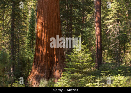 Giant Sequoia (Sequoiadendron giganteum) in a sunlit woodland, Mariposa Grove, Yosemite National Park, California, - Stock Photo