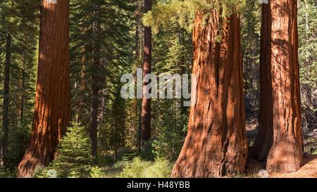 Giant Sequoia (Sequoiadendron giganteum) trees in Mariposa Grove, Yosemite National Park, California, USA. Autumn - Stock Photo
