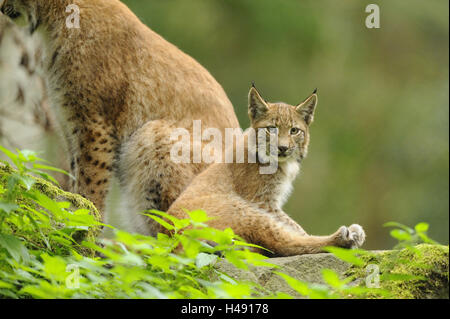 Eurasian lynx, Lynx lynx, young animal, sitting, side view, looking at camera, - Stock Photo