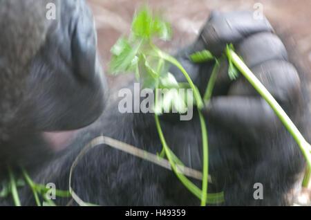 Gorilla, eat, medium close-up, blurs, - Stock Photo