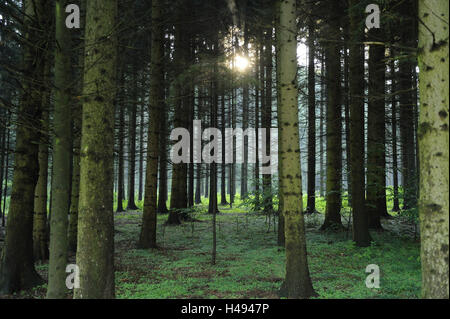 Spruce forest, Norway spruces, Picea abies, Upper Palatinate, Bavaria, Germany, - Stock Photo