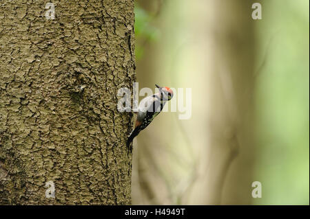 Middle spotted woodpecker, Dendrocopos medius, Picoides medius, - Stock Photo