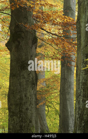 Copper beeches, Fagus sylvatica, autumn, Germany, Hessen, Reinhardswald, primeval forest Sababurg, - Stock Photo