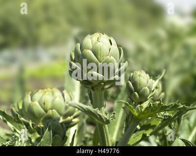 Garden, artichokes, Cynara scolymus, inflorescences, - Stock Photo