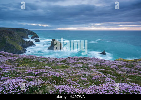 Pink Thrift wildflowers (Armeria maritima) flowering on the cliff tops above Bedruthan Steps on the Cornish Coast, - Stock Photo