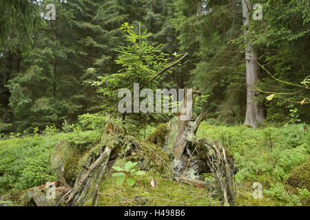 Young spruce, Picea abies, forest floor, - Stock Photo