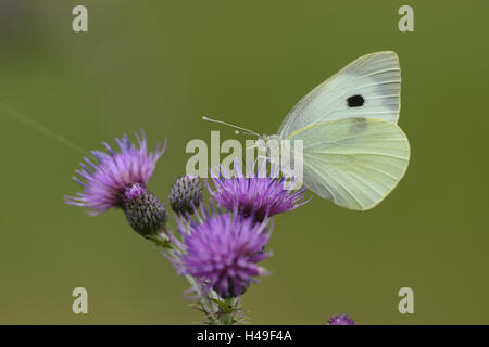 Big cabbage butterfly, Pieris brassicae, Acker-Kratzdistel, Cirsium arvense, sit, at the side, - Stock Photo