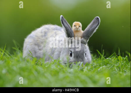 Hare, Lepus, poultry chick, Gallus gallus domesticus, looking at camera, - Stock Photo