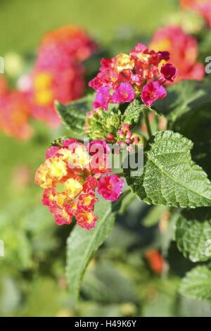 Lantana, flower, Spanish flag, Verbenaceae, - Stock Photo