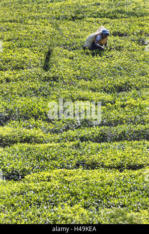 Sri Lanka, Maskeliya, tea plantation, woman, - Stock Photo