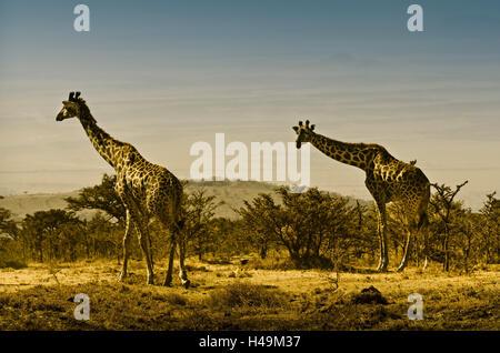 Africa, Tanzania, East Africa, Serengeti, National Park, giraffe, - Stock Photo