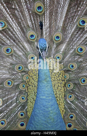 Blue peacock, Pavo cristatus, portrait, - Stock Photo