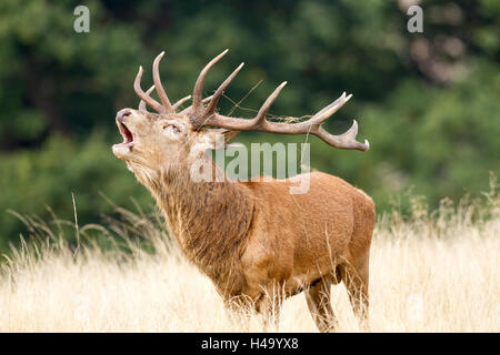Richmond, UK. 14th October 2016. UK weather.  A Red deer stag bolving during the annual rut in Richmond Park, London, - Stock Photo