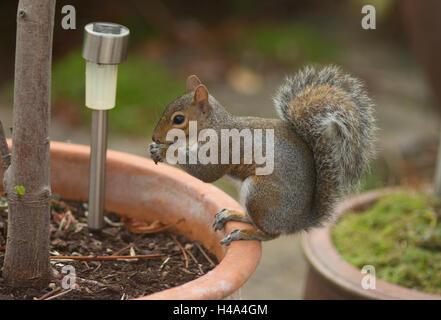 Wimbledon, London UK. 15th October, 2016. Autumn brings grey squirrels into suburban garden to forage from bird - Stock Photo