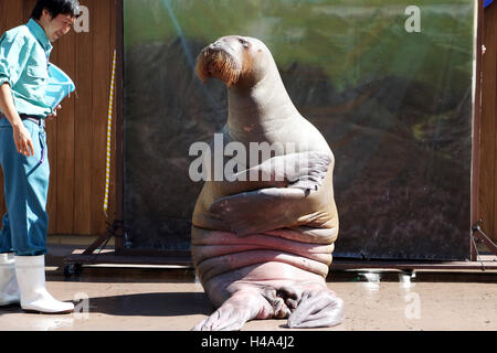 Yokohama, Japan. 15th Oct, 2016. A female walrus Pico poses as a painting of 'The Mona Lisa' by Leonard da Vincii - Stock Photo