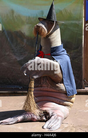 Yokohama, Japan. 15th Oct, 2016. A female walrus Pico wears a costume of witch for the upcoming Halloween during - Stock Photo