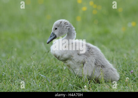 Hump swan, Cygnus olor, chicks, - Stock Photo