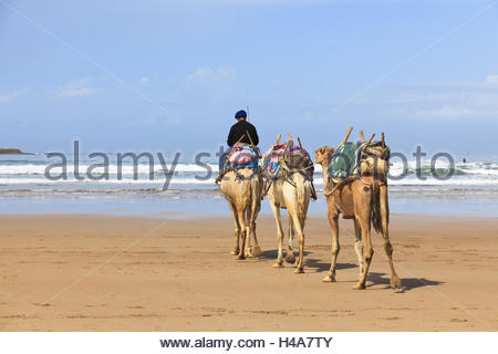 Moroccan man on camel on the beach of Essaouira, Morocco, North Africa, Atlantic coast, - Stock Photo