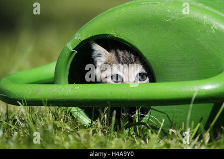 Meadow, watering can, house cat, young animal, hides, look out, animal, mammal, cat, pet, outside, animal child, - Stock Photo