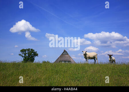Ewe with cub on the Elbe dike near Hollerwettern in the Wilster marsh near Wewelsfleth, thatched-roof house, detail, - Stock Photo