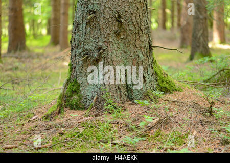 Norway spruce, Picea abies, trunk, - Stock Photo
