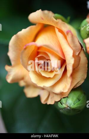 flowers, rose, - Stock Photo