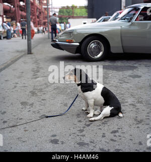 Jack Russel Terrier in front of Citroen DS, vintage car rally at Zeche Zollverein, - Stock Photo